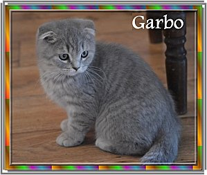 Garbo de Melmott scottish fold n°15