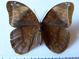 Catoblepia berecynthia berecynthia