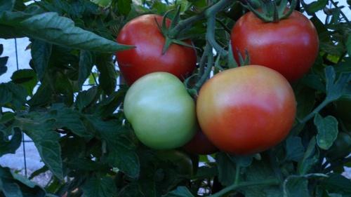 tomates (des vraies)