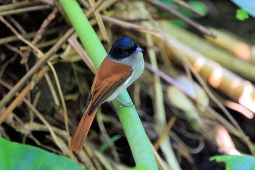 Tchitrec des Mascareignes (Mascarene Paradise Flycatcher)