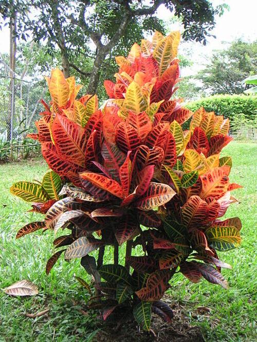 Croton Codiaeum variegatum