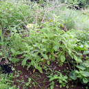 Le carré des plantes aromatiques et médicinales (2) - Photo : Fritz