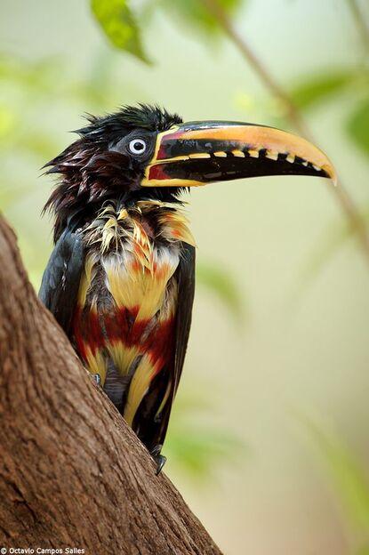 Chestnut eared Aracari  by Octavio Campos