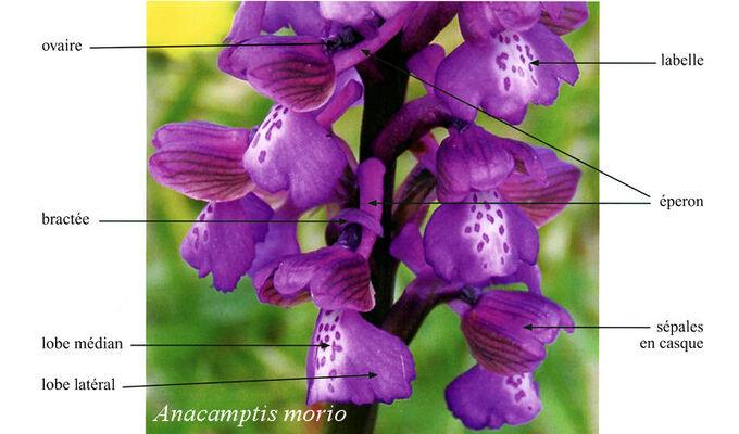 Morphologie des fleurs d'orchidées