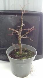 acer palmatum katsura année 2018