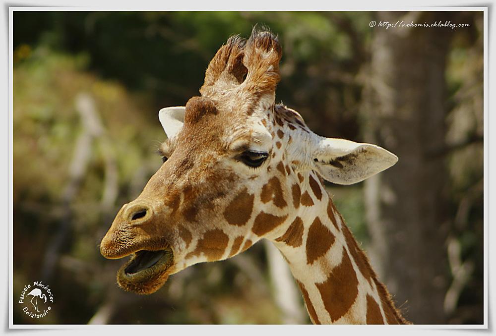 Girafe réticulée (G.c. reticulata)