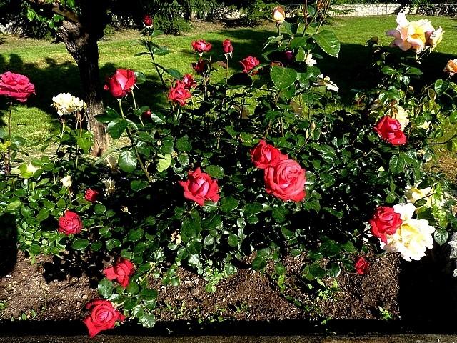 Les roses de Balazuc 1 Marc de Metz 20 07 2012