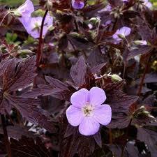 geranium-elisabeht-ann.jpg