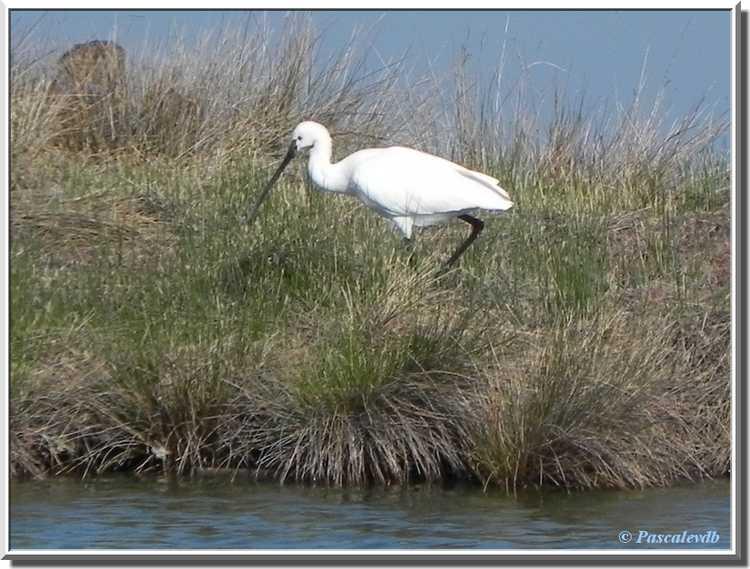 Parc ornithologique du Teich - Spatule