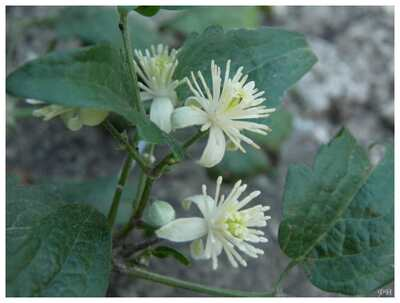 Clématite vigne-blanche