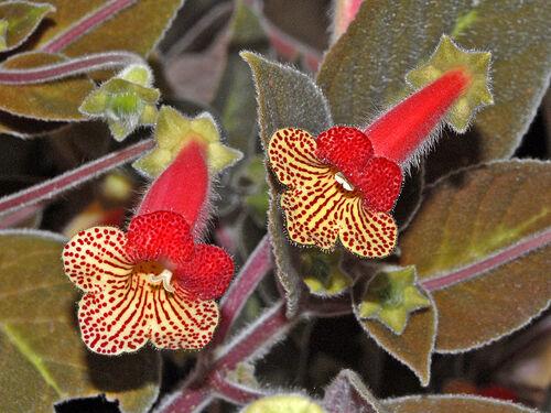 Fleurs cultivées : Kohleria