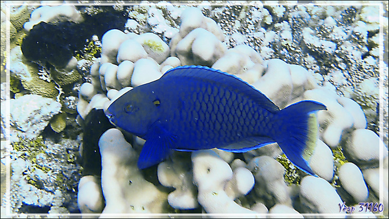 Poisson perroquet bleu nommé Perroquet brun ! Rusty parrotfish (Scarus niger) - Tumakohua (passe sud) - Atoll de Fakarava - Tuamotu - Polynésie française