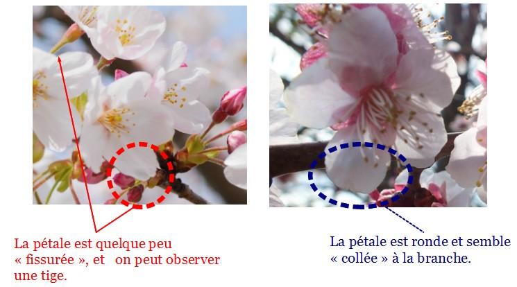 桜 か 梅 か Cerisier Ou Prunier Par Ilona L Monnet Kineko