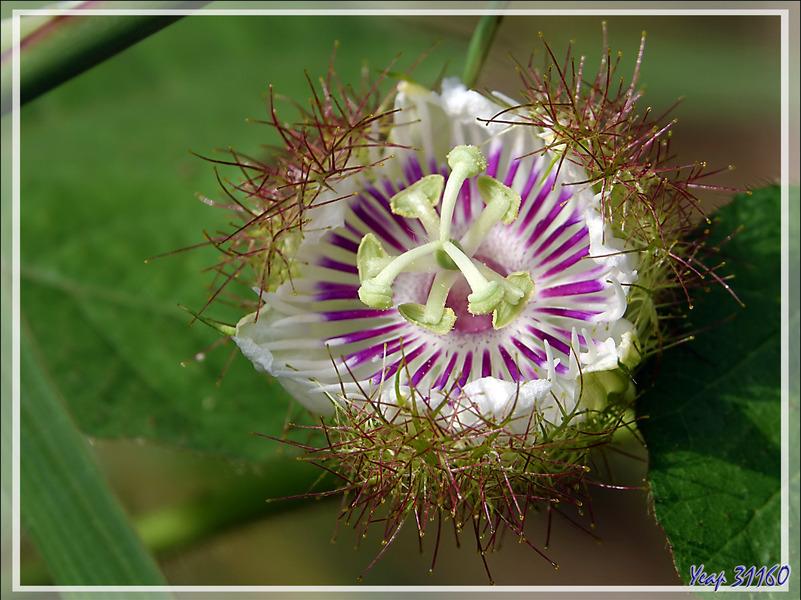 Passiflore fétide, Grenadille-caméléon, Ppoc-poc, Wild maracuja, Bush passion fruit (Passiflora foetida) - Nosy Sakatia - Madagascar