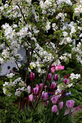Tulipes 2017 : Synaeda Blue et Synaeda Amor