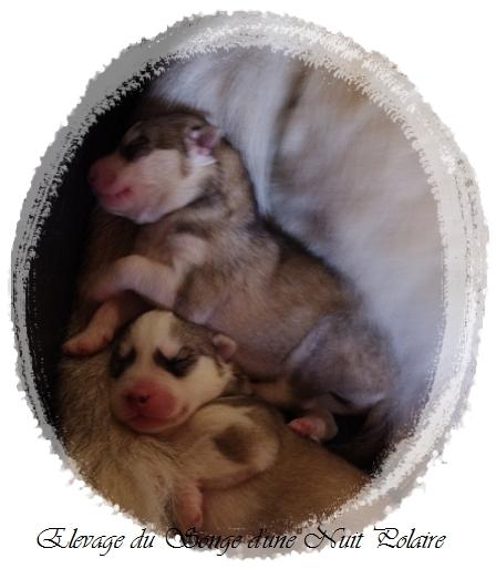 Felwen et ses chiots (3 jours)