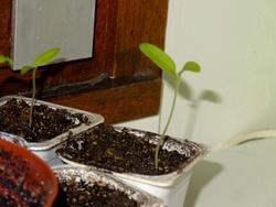 28 février : la levée des tomates