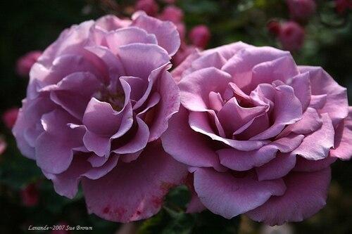 Roses et lavande, B.Regnier