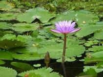 Fleur de Lotus dans Auroville