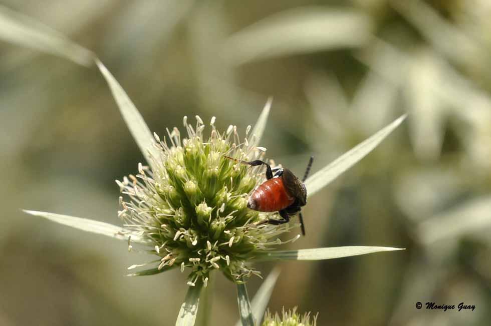 Insecte rouge et noir