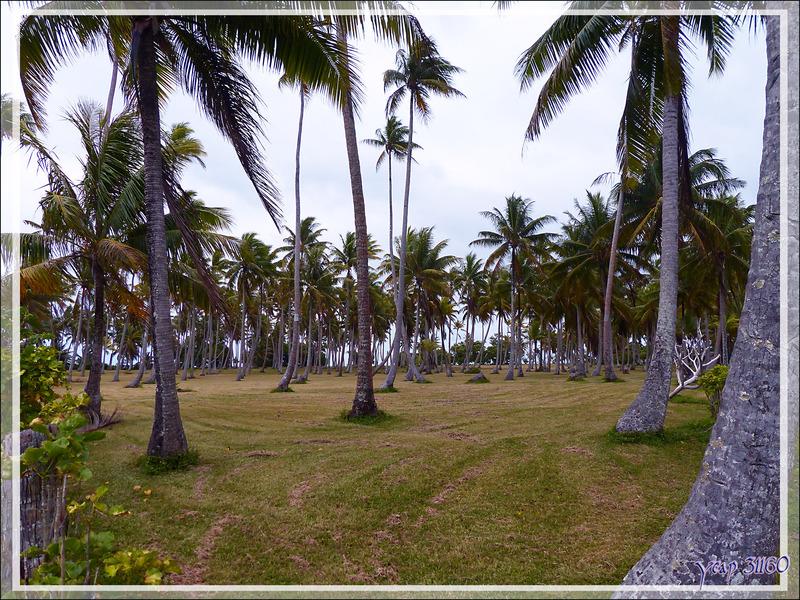 Cocoteraie - Huahine - Polynésie française
