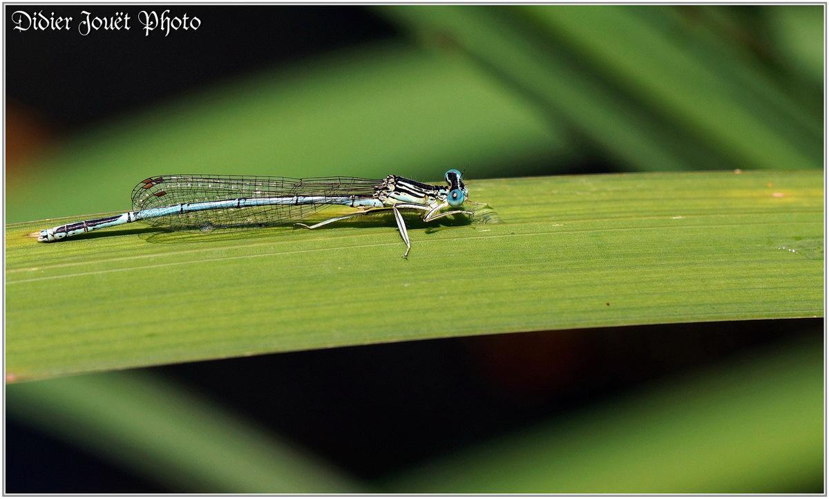Agrion à Larges Pattes (1) - Platycnemis pennipes