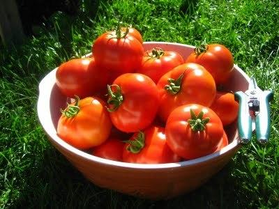 La tomate, reine de l'été
