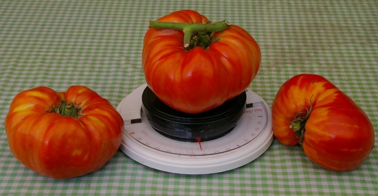tomates stfani 2