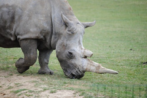 (2) Le rhinocéros blanc.