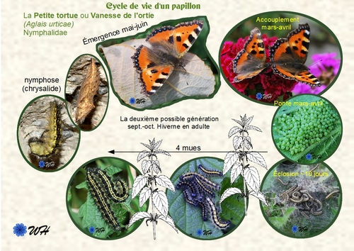 ♥ Les papillons et leurs chenilles