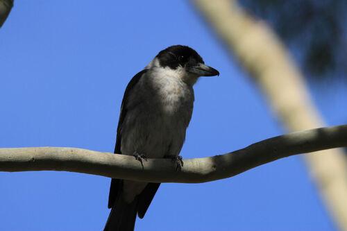 Cassican à collier (Grey Butcherbird)VIC Australie