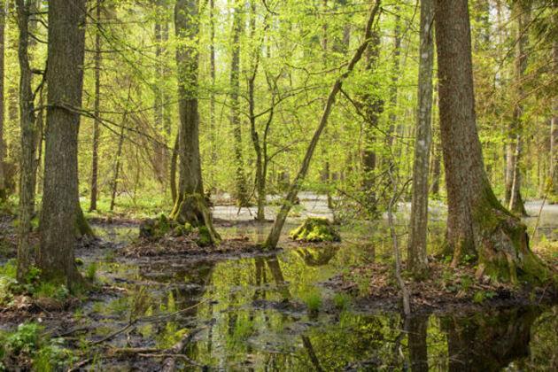 La forêt de Belovezhskaya