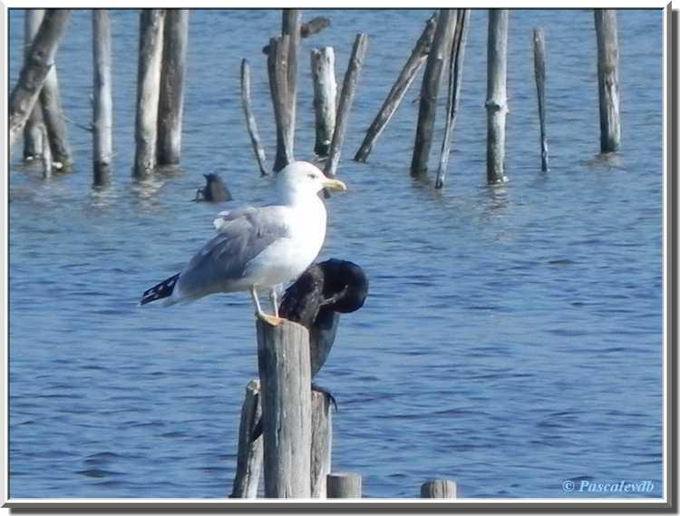 Parc ornithologique du Teich - goéland argenté