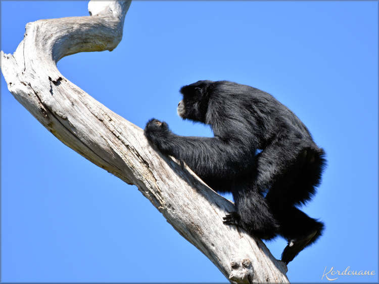 "Photos de Siamang ""funambules"" - Zoo d'Arcachon"