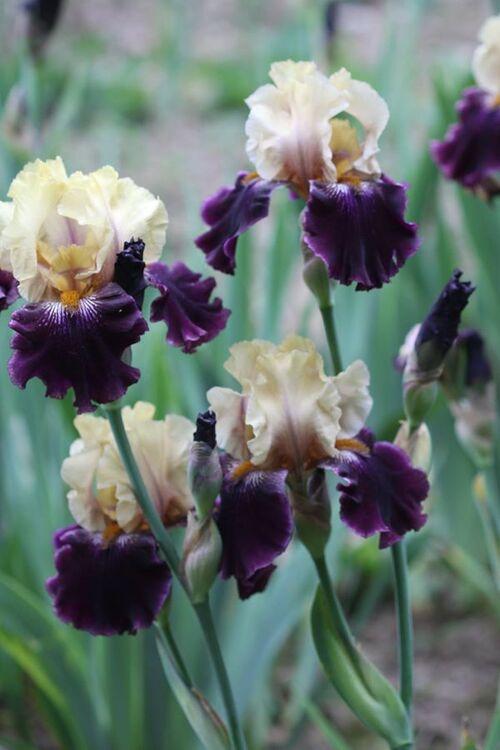 bonne soirée à vous, mes fleurs, iris
