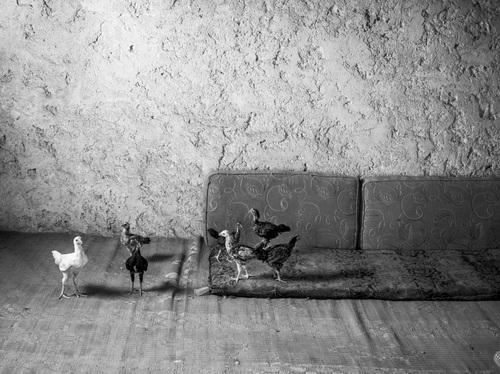 12 - Les poules dans le monde, suite