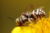 Hyménoptera (hors fourmis)