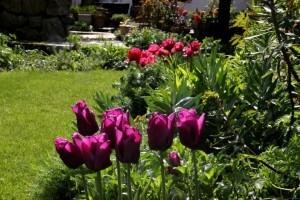 Tulipes Passionale4