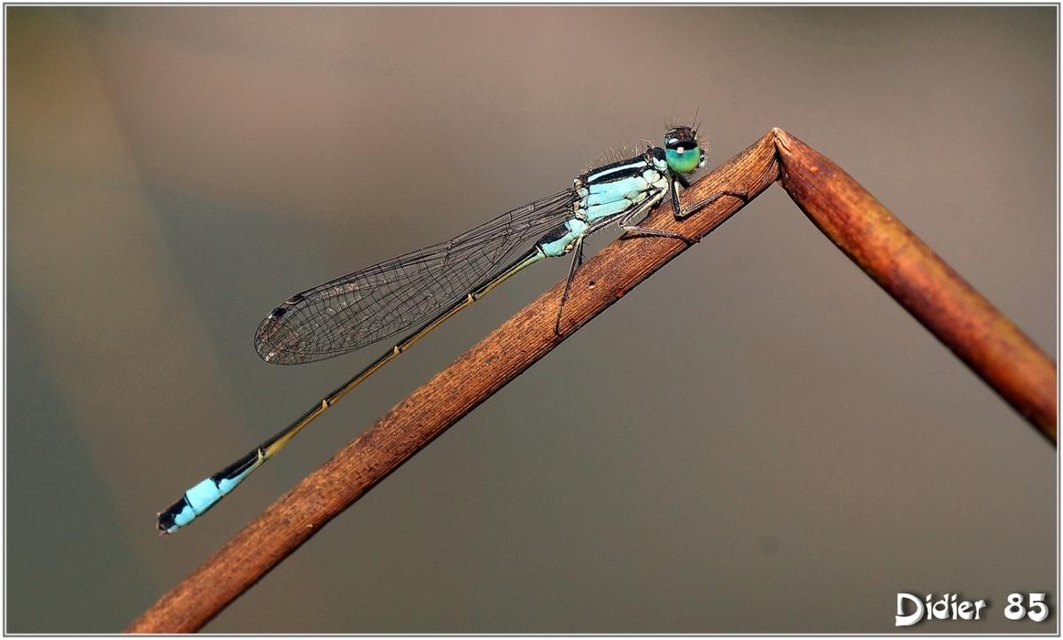 Agrion Elégant (2) - Ischnura elegans