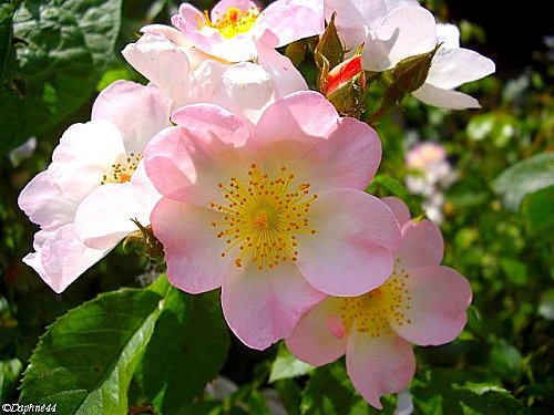 roserosa.jpg