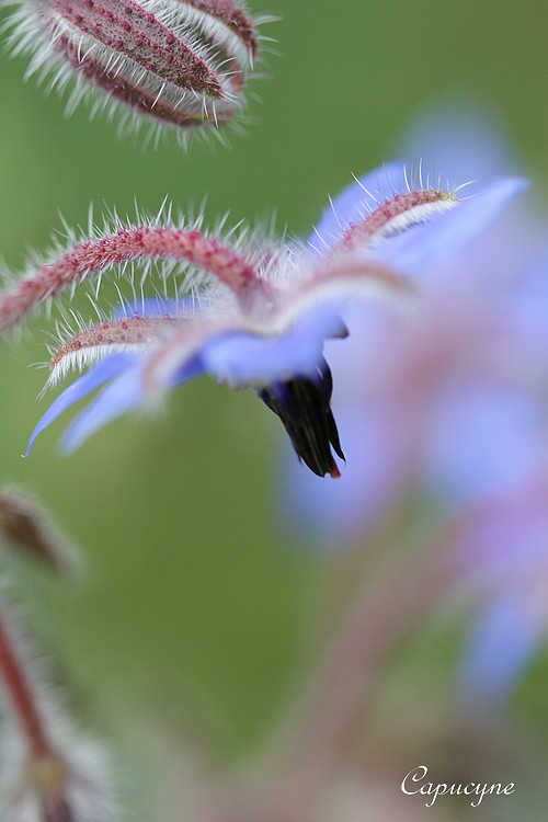 """Eté """"fleur bleu"""" au jardin"""