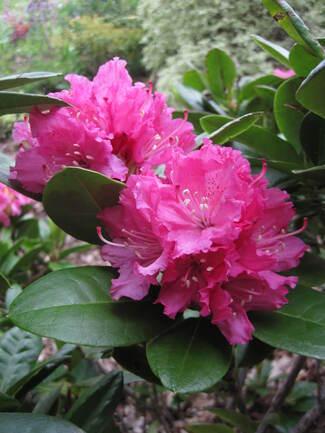 Rhododendron ' Rocket ' à fleurs rose vif.
