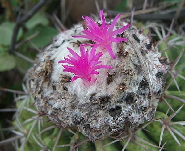 736px-Melocactus curvispinus curvispinus (2)