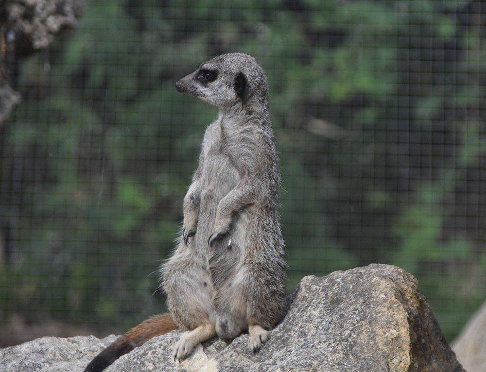 Les suricates du zoo de La Teste...