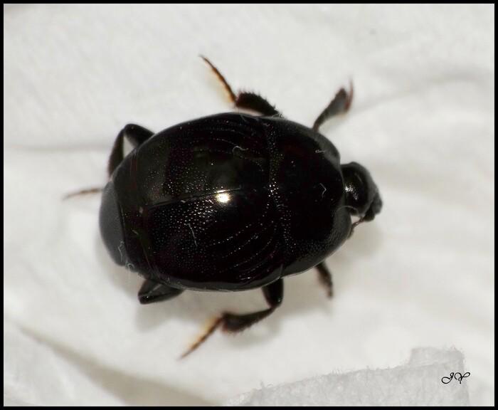 Saprinus semistriatus, Histeridae.