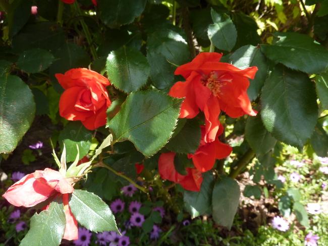 Roses de Bretagne