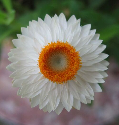 Fleurs cultivées : Immortelle