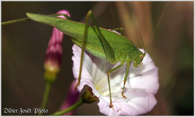 Sauterelle - Phanéroptère Méridional / Phaneroptera nana