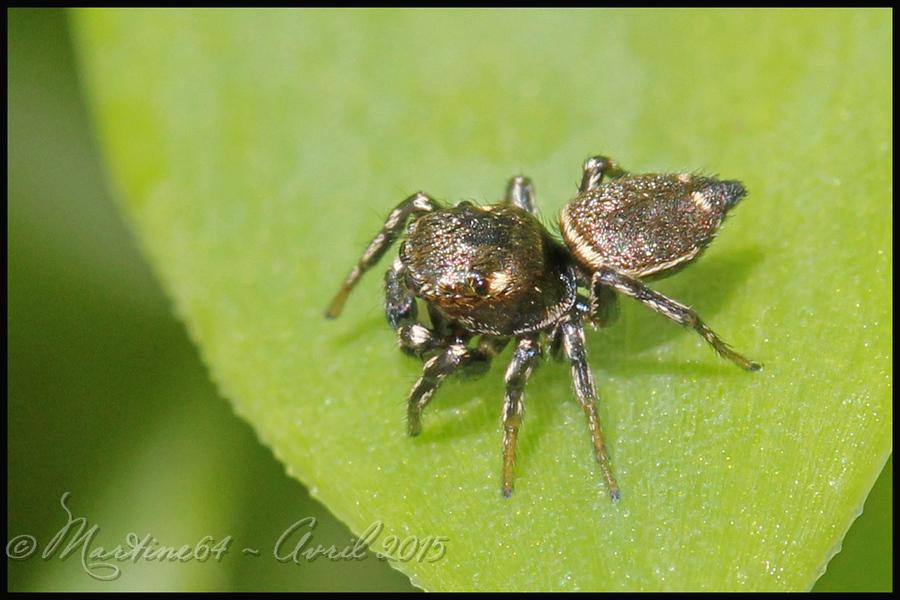Araignée sauteuse : Heliophanus trubulosus
