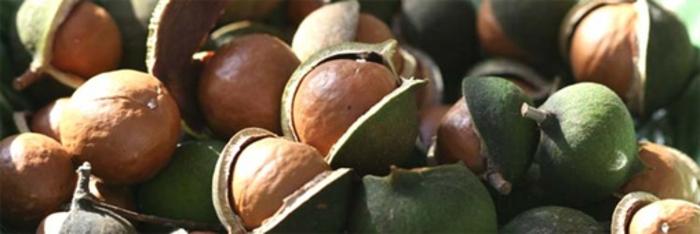 Santé : La noix de macadamia, l'anticholestérol par excellence